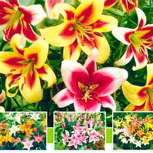 Super ofertă! Crini cu flori mari, set de 5 bulbi imagine 1 articol 67042