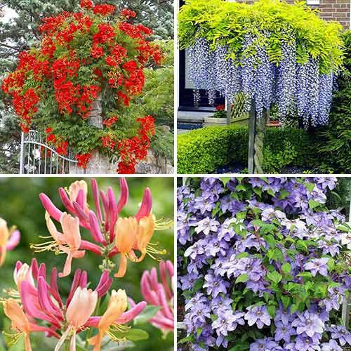 Super ofertă! Plante ornamentale Mireasma zorilor, 4 soiuri imagine 1 articol 9189