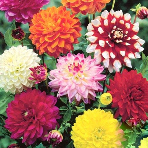 Super-ofertă! Set de Dalii decorative, 8 bulbi imagine 1 articol 2986