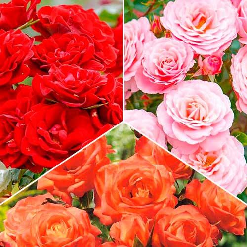 Super ofertă! Trandafiri floribunda Tricolor, set de 3 soiuri imagine 1 articol 3619