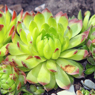 Sempervivum (Urechelniță) Lipar imagine 8