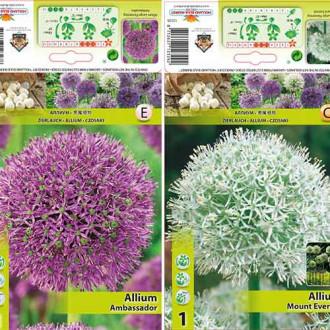 Super ofertă! Allium gigant, set de 2 bulbi imagine 4