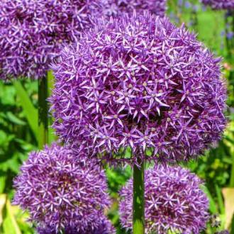 Allium Globemaster imagine 8