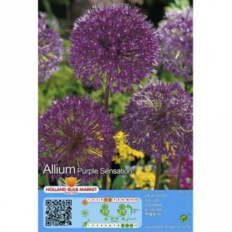 Allium Purple Sensation imagine 6