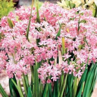 Allium Roseum imagine 2