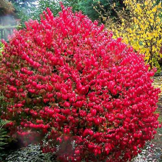 Euonymus alatus  imagine 1