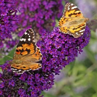 Liliac de vară Black Knight imagine 1