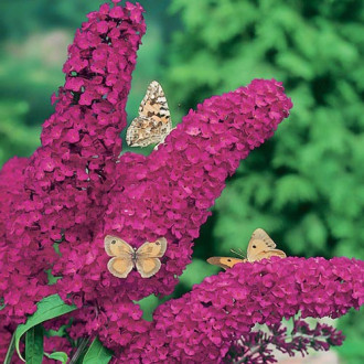 Liliac de vară Royal Red imagine 4