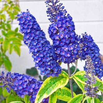 Liliac de vara Empire Blue