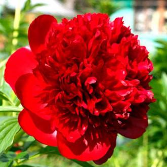 Bujor Red