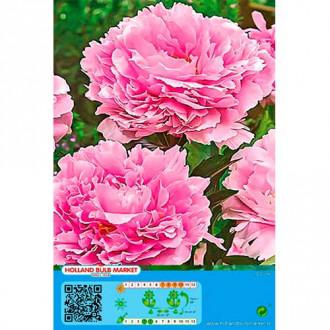 Bujor Pink imagine 1
