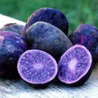 Cartofi de sămânță Fleur Bleue imagine 2