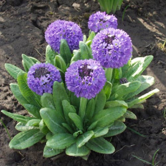 Ciuboțica cucului (Primula) denticulata Blue imagine 4