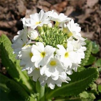 Ciuboțica cucului (Primula) denticulata Corolla White imagine 5