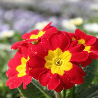 Ciuboțica cucului (Primula) vulgaris Red imagine 8