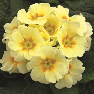 Ciuboțica cucului (Primula) vulgaris Yellow imagine 7