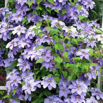 Clematis Blue Angel imagine 4