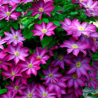 Clematis Mrs n Thompson imagine 7