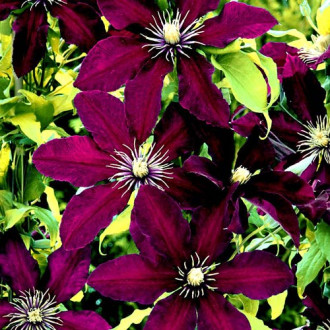 Clematis Niobe imagine 1
