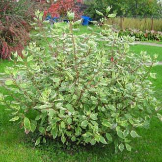Cornus alba Elegantissima imagine 2