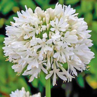 Crin african (Agapanthus) White imagine 3