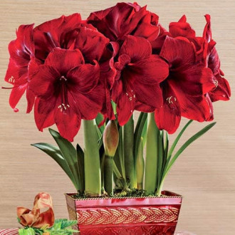 Crin de cameră (Amaryllis) Royal Velvet imagine 1