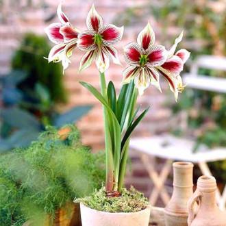 Crin de cameră (Amaryllis) Papillio imagine 7