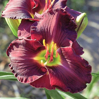 Crin de o zi (Hemerocallis) Double Black