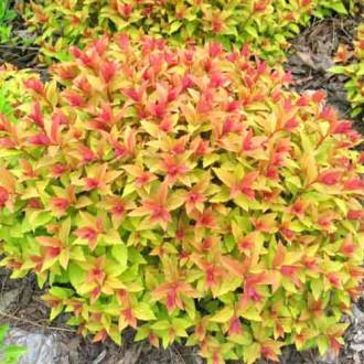 Cununiță japonica Goldflame imagine 1