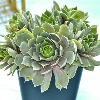Sempervivum (Urechelniță) Blue Star imagine 3