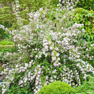Deutzia Mont Rose imagine 4