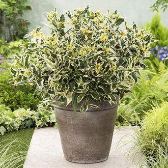 Diervilla sessilifolia Cool Splash