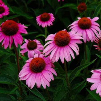 Echinacea purpurea Bright Rose imagine 6