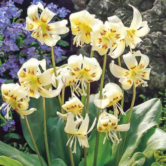 Erythronium White Beauty imagine 1