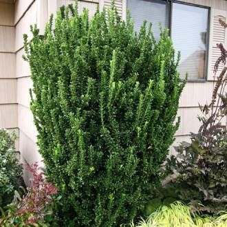 Euonymus Green Spire imagine 2
