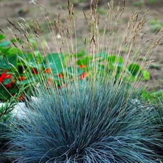 Festuca glauca (Iarbă albastră) Festina imagine 4