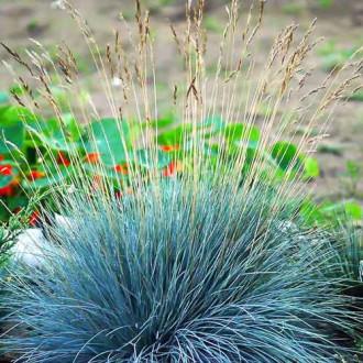 Festuca glauca (Iarbă albastră) imagine 1