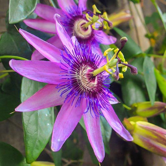 Floarea Pasiunii (Passiflora) Lavender Lady imagine 1