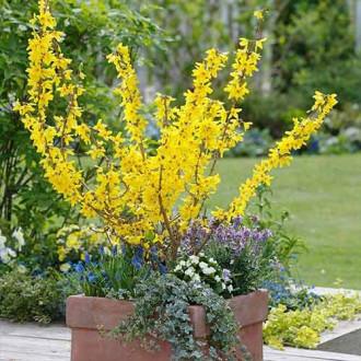 Forsythia Minigold