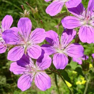 Fratele priboiului (Geranium sylvaticum) Roseum imagine 3