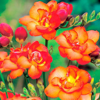 Frezie Double Orange imagine 2