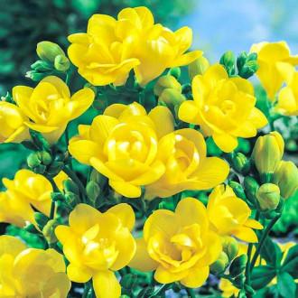 Frezie Double Yellow imagine 6