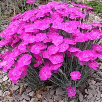 Garofițe Pink Blanca imagine 5