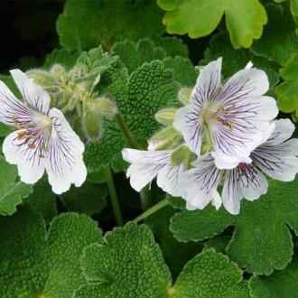 Geranium renardii imagine 2