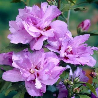 Hibiscus Ardens imagine 1