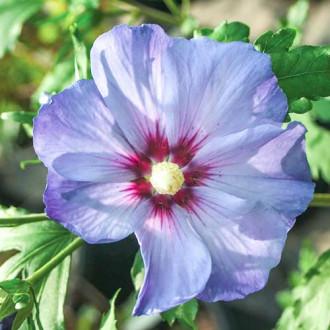Hibiscus Azurri imagine 1
