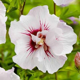 Hibiscus Monstrosus imagine 3