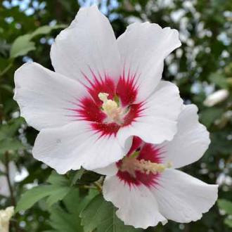 Hibiscus Shintaeyang imagine 3