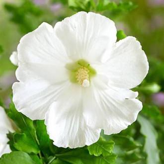 Hibiscus Totus Albus imagine 4