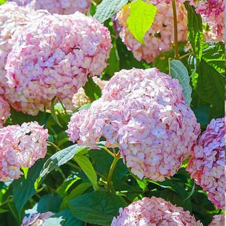 Hortensia arborescens Candybelle Bubblegum imagine 2